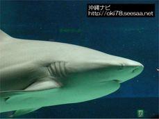 200709美ら海水族館〜サメ.jpg