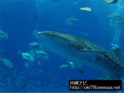 200709美ら海水族館〜ジンベエザメ.jpg